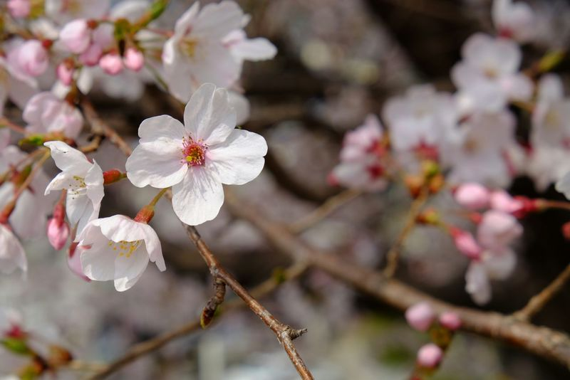 Cherry Blossom in Jinhae Jinhae South Korea Koreatrip Sakura Flower Flowerporn Nature Photography Nature Springtime Spring In Korea Bokeh Bokehlicious Fujifilm Fujixt10 Fujifilm Cherry Blossoms
