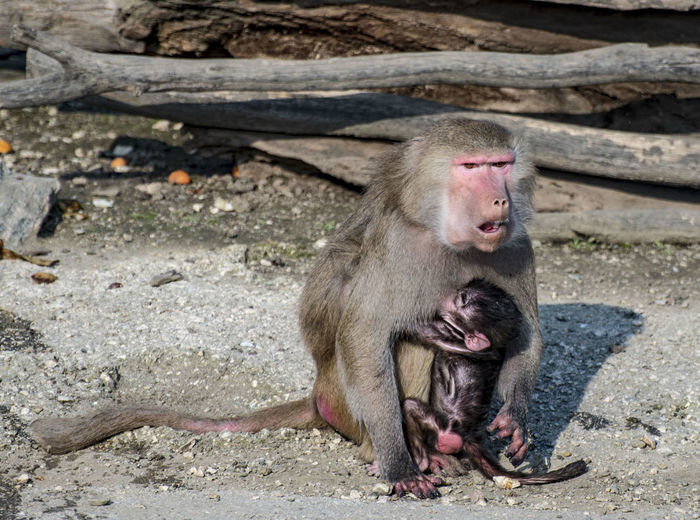Primate Mammal Animals In The Wild Animal Wildlife Sitting Young Animal Vertebrate No People Day One Animal Outdoors Animal Family Nature Baboon Mouth Open Monkey Zoo