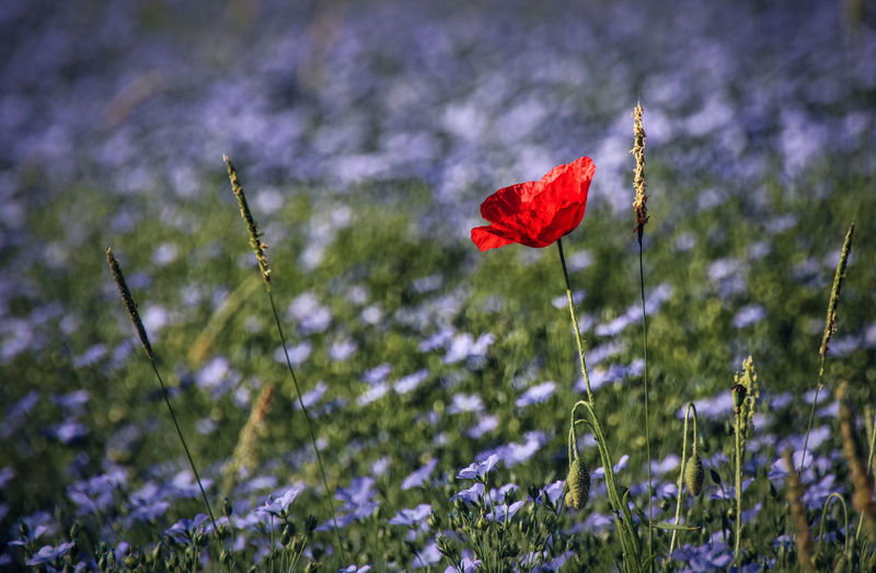 Beauty In Nature Blooming Close-up Day Field Flax Flower Flower Head Fragility Freshness Grass Growth Lin Nature No People Outdoors Petal Plant Poppy Red