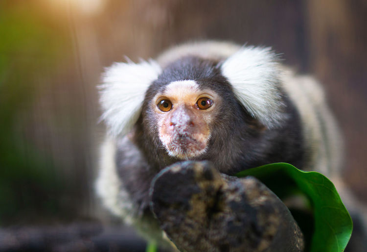 Close-up marmoset on tree in forest