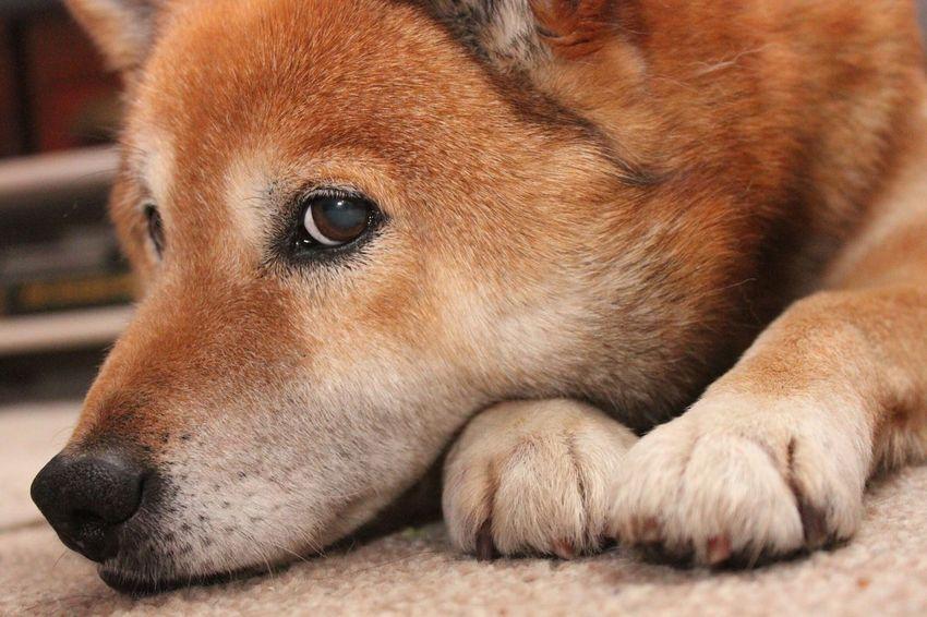 Gonta. He's aloof, but he's perfect! Things I Like Cute Dog Lazy Gonta Aloof