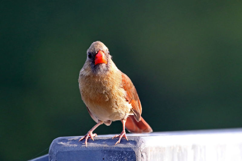 Female Northern Cardinal Animal Animal Head  Animal Themes Avian Beak Beauty In Nature Bird Close-up Day EyeEm Nature Lover Female Focus On Foreground Nature No People Northern Cardinal Outdoors Perching Selective Focus