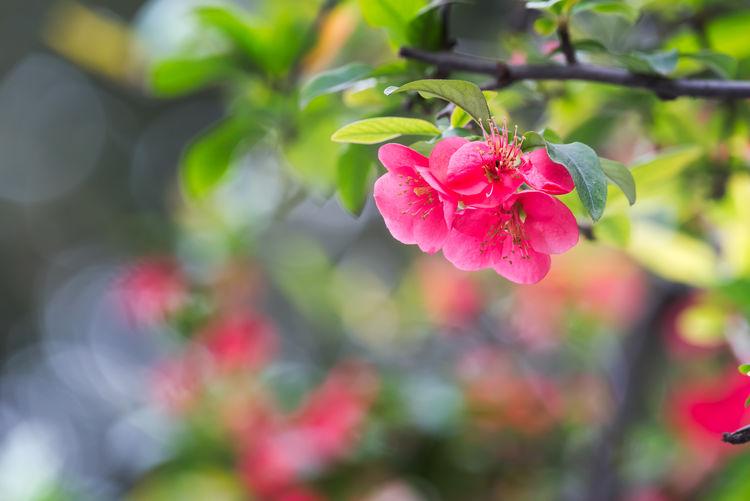 Malus spectabilis in spring Malus Spectabilis Nature Tree Flower Flower Head Red Flower Rose - Flower Spring Spring Flowers Springtime