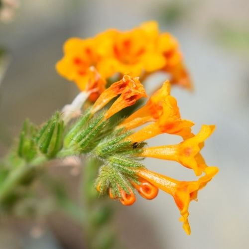 No People Close-up Nature Yellow Outdoors Flower Defocused Day Food Freshness Orange Fiddleneck Freshness Fragility Growth Beauty In Nature Plant Flower Head Nature Tranquility Focus On Foreground Uncultivated Petal Perspectives On Nature