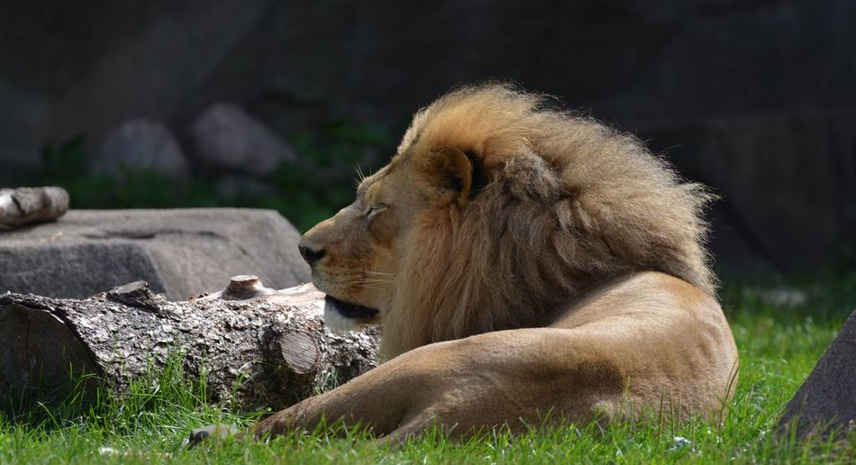 Side view of a relaxed lion