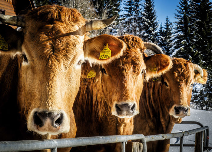Portrait of cattle during winter