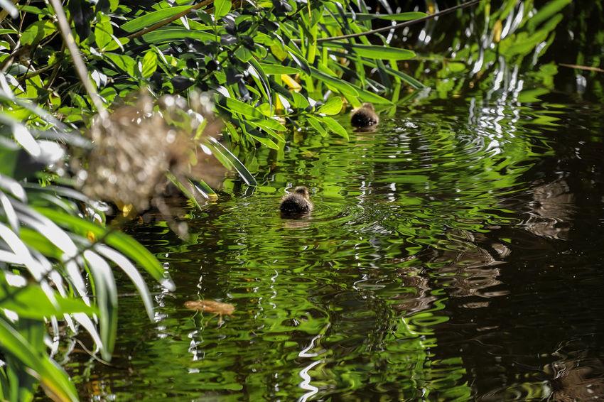 Ducklings on water Duck Duckling Ducks Dusck On Water Nature Swimming Wellington Zoo Wild