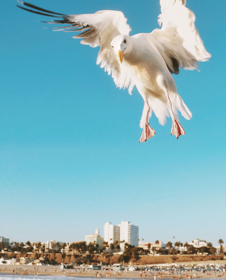 Low Angle View Of Seagull Flying Over Beach Against Clear Blue Sky