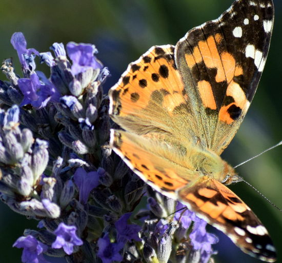 Animal Markings Beauty In Nature Butterfly Butterfly - Insect Close-up Flower Natural Pattern Nature Wildlife
