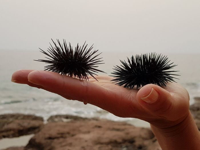 Close-up of cropped hand holding sea urchins at beach