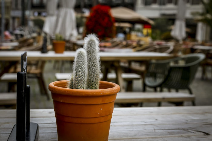 cactus on a table top of a restaurant Beautiful Beautiful Day Cactus Cephalocereus Senilis Flower Pot Morning Plants Cactus Collection Cafe Close-up Day Evening Focus On Foreground Freshness Indoors  No People Outdoor Restaurant Restaurant Spring Summer Table Wood - Material