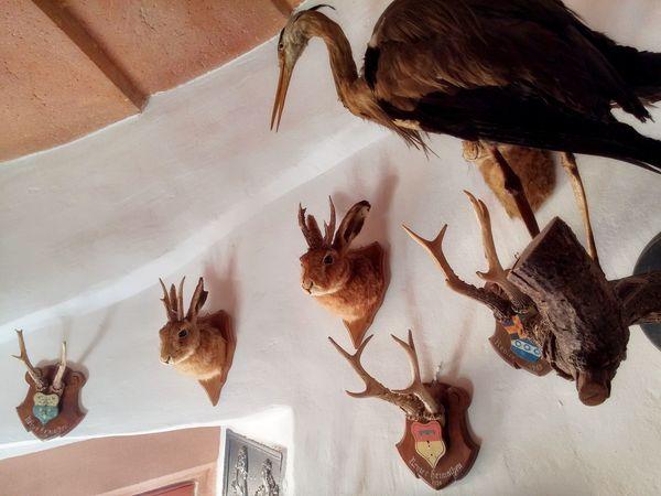 Hase mit Geweih / hase with antlers Animal Anormal Antler Eye4photography  EyeEm EyeEm Best Shots EyeEm Gallery EyeEm Nature Lover Hase Hi! Lustig Must See Mutation Super