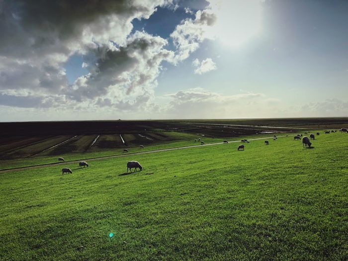 Hallig Animal Themes Sheep Land Sky Cloud - Sky Landscape Environment Field Scenics - Nature Grass Beauty In Nature Green Color EyeEmNewHere EyeEmNewHere EyeEmNewHere