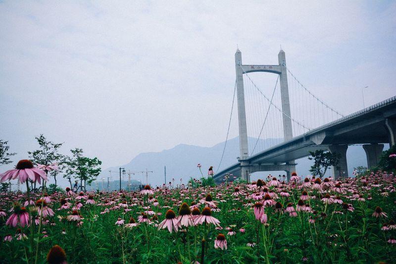 Coneflowers Blooming On Field By Bridge Against Sky