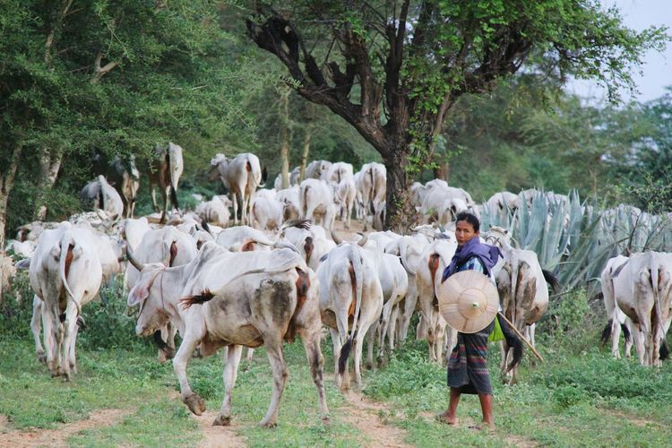 Livestock Domestic Animals Mammal Agriculture Large Group Of Animals Tree Farmer Field Nature Flock Of Sheep Real People Grazing Men Sheep One Person Outdoors Day Rural Scene Myanmar Culture Bagan, Myanmar Myanmar Occupation Full Length