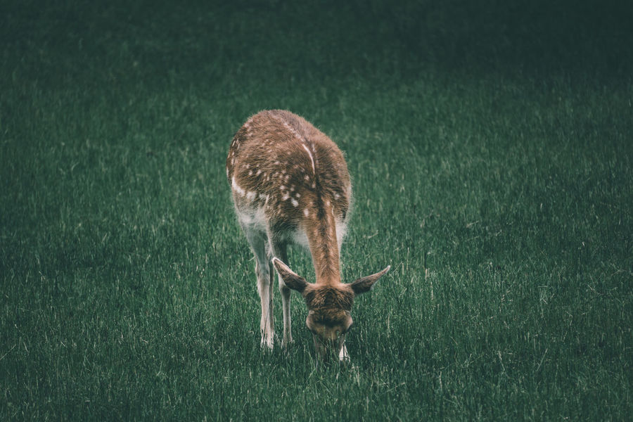 Young deer eating green grass Animal Animal Themes Animal Wallpaper Animal Wildlife Animals Animals In The Wild Bambi Cute Deer Eating Eating Animal Field Grass Grass Lovely Mammal Nature No People One Animal One Night Outdoors Peace Tranquilty Wallpaper Wildlife