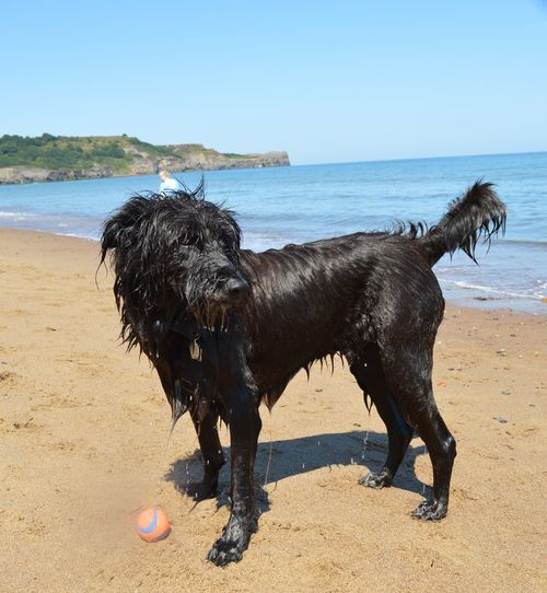 Dog Standing On Beach Against Clear Sky