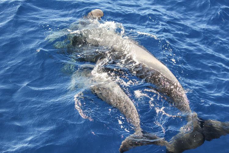 Pilot whales globicephala melas in the atlantic ocean at canary island tenerife