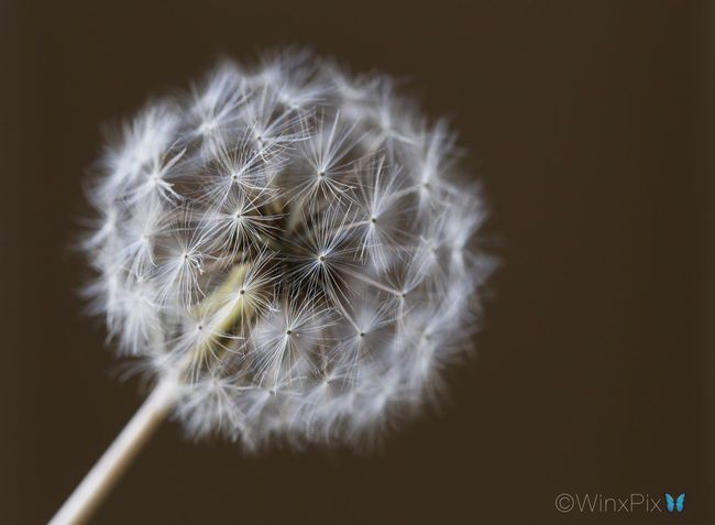 Red seed Dandelion. Dandelion Dandelions Dandelionfluff Dandelion Close-up Dandelion Flowers Dandelion Macro Nature Weed Weeds Are Beautiful Too Weeding Photography Flower Fragility Softness Nature No People No People Outdoors No Person