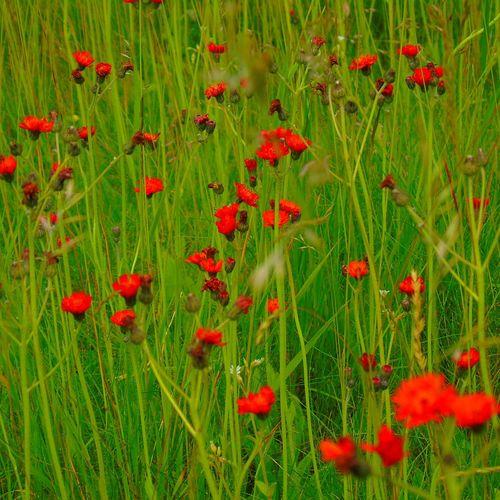 Red Field Grass