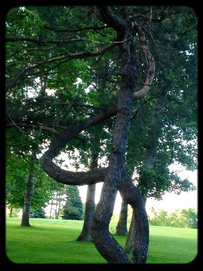 Treescape Bent Indian Marking Tree
