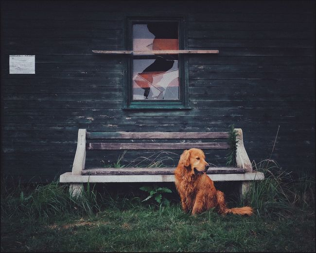 Grass Mammal Domestic Animals Animal Themes Wood - Material Pets No People One Animal Day Outdoors Dog Building Exterior Architecture Nature Bird The Week On EyeEm Fujifilm_xseries Golden Retriever