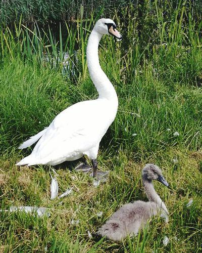 Swan and cygnet wildfowl nature wildlife norfolk