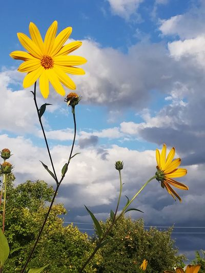 Sky flowers Flower Head Flower Black-eyed Susan Yellow Rural Scene Sunflower Blue Summer Petal Uncultivated Flowering Plant Wildflower In Bloom Plant Life Blooming Blossom Botany Botanical Garden
