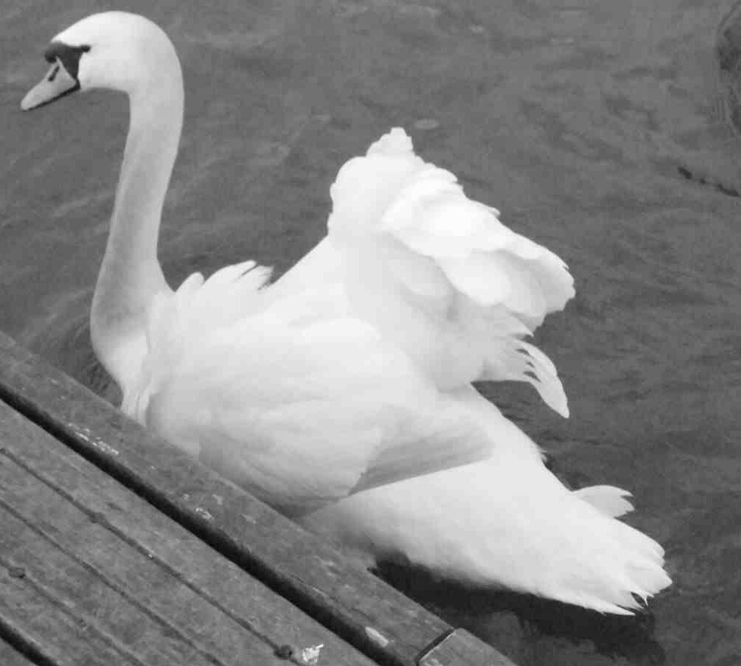 bird, animal themes, animals in the wild, wildlife, white color, swan, one animal, beak, nature, lake, close-up, white, outdoors, two animals, beauty in nature, water, day, side view, no people, full length