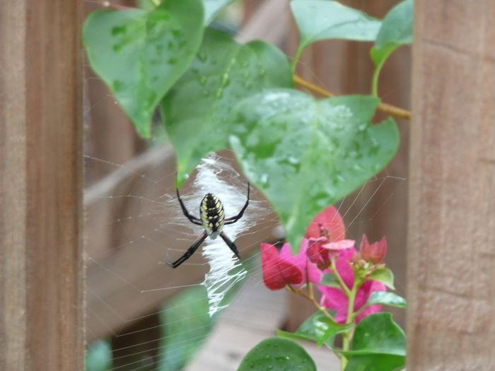 Gardenspider Standrewscrossspider Writingspider Focus On Foreground