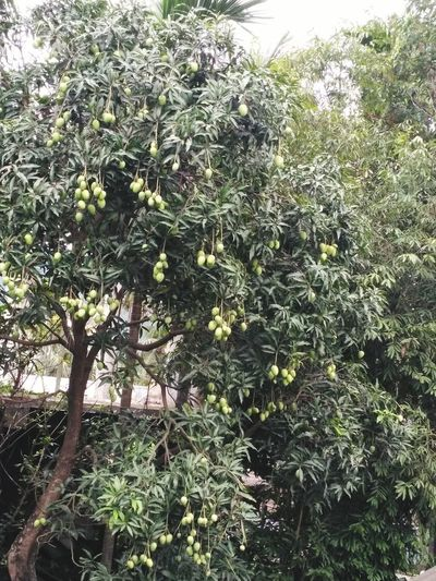 Mango Seasons Fruits And Vegetables Fresh Healthy Nutritional Love Mango Yummm Yummm Good Vibes Tree Nature Plant Beauty In Nature  Freshness Nature