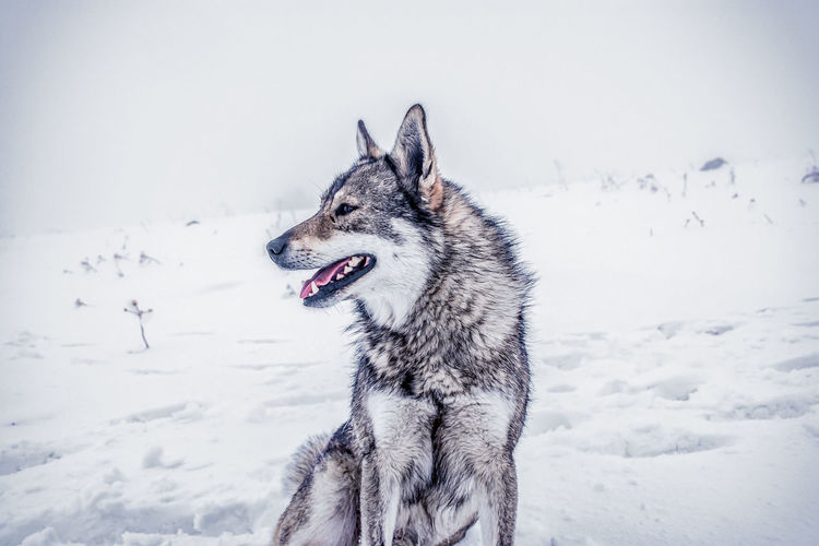 Wolf on snow covered field