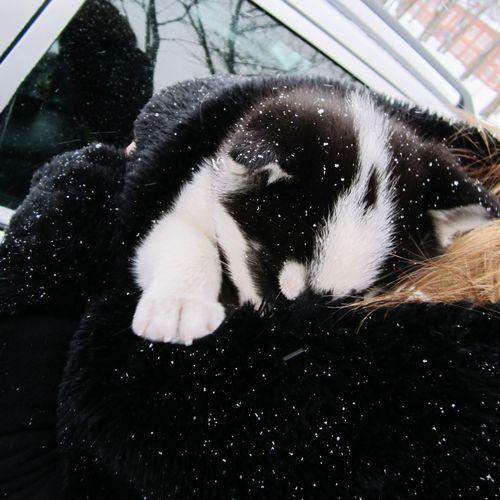 Husky hiding