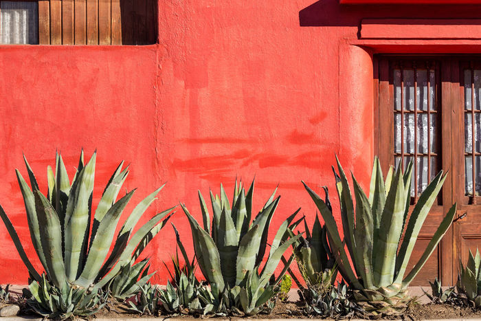 Old red wall with a row of agave plants in Vicuna, Chile Agave Agave Plant Arid Arid Climate Building Exterior Chile Desert Elqui Elqui Valley Latin America Outdoors Plant Red Red South America Tourism Travel Travel Destinations Vicuña Wall