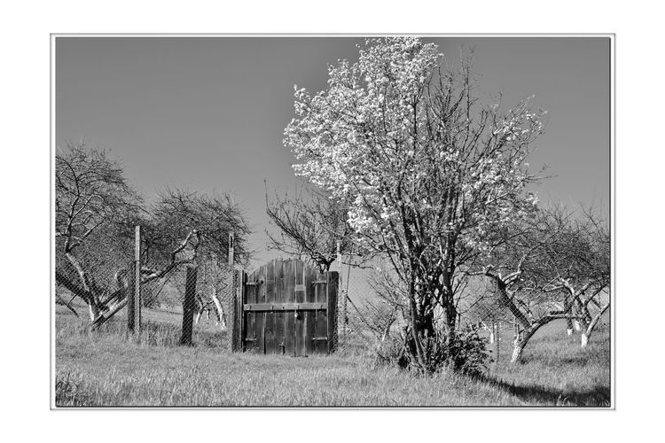 Orchard Gate 3 Garin Regional Park Wooden Gate Orchards Scenic Eastbay Hills Rolling Hills Valleys Landscape_Collection Blooming Tree Trees Fence Wood Posts Entrance Painted Tree Trunks Bnw_friday_eyeemchallenge Bnw_gateway Monochrome_Photography Monochrome Black & White Black & White Photography Black And White Black And White Collection  Nature Beauty In Nature Nature Collection Countryside Entry Gate Sky Chainlink Fence Blooming