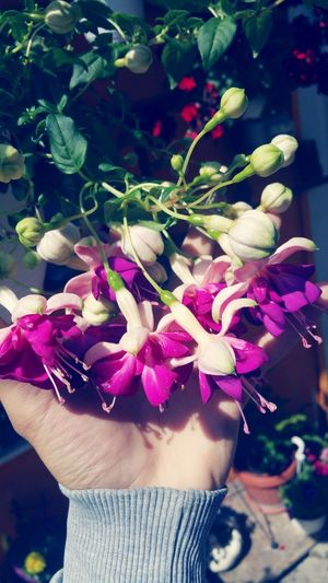 Flower Plant Nature Purple Day Lifestyles Outdoors Only Women Freshness Close-up Adult One Person Human Body Part Healthy Eating One Woman Only Fragility Beauty In Nature Flower Head Human Hand Adults Only Fucsiafucsiafucsia Fucsiaplant Fucsia Flower Fucsia Flowers Pink Color