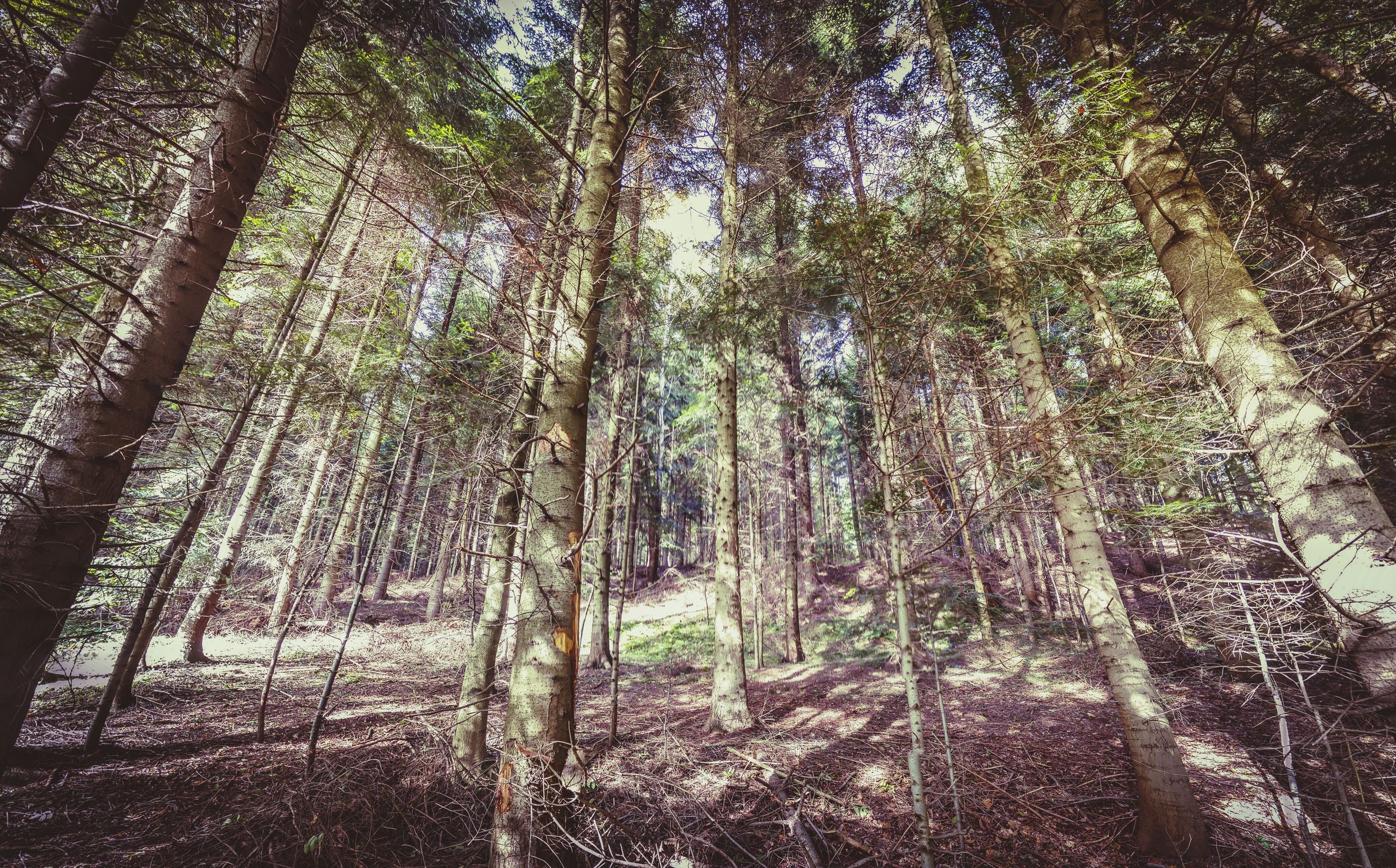 forest, tree trunk, tree, woodland, tranquil scene, tranquility, scenics, growth, low angle view, beauty in nature, nature, non-urban scene, landscape, tall - high, tall, branch, day, abundance, outdoors, solitude, green, remote, woods