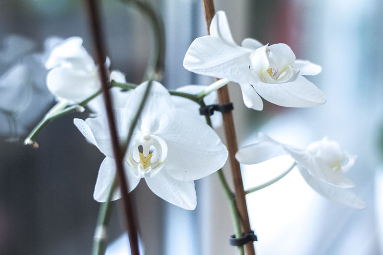 Close-up of white orchids blooming