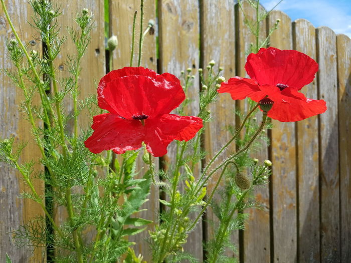 Red Growth Day Nature Plant Outdoors Flower No People Beauty In Nature Poppy Poppies  Sunlight Wooden Fence In Full Bloom Flowerful Flower Power Blooming Season No Edit/no Filter Ladyphotographerofthemonth Growth In Nature Summer Close-up Freshness Fragility Flower Head EyeEm Selects