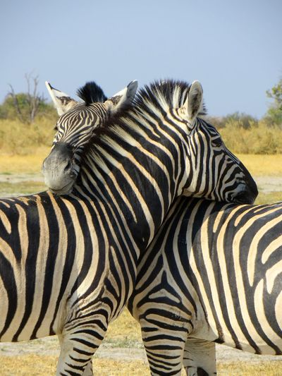 Close-Up Of Zebra Standing On Field Against Clear Sky