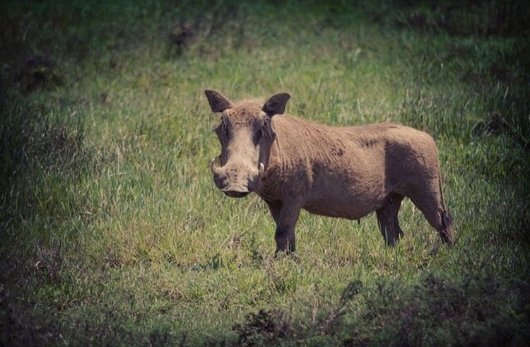 Pumba Warthog Wildlife & Nature Wildlife Conservation Shamwari Southafrica Africa Naturelovers Nikon D5100  Photography