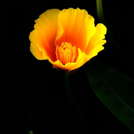 Glow In The Dark .... Californian Poppy Flower Petal Beauty In Nature Fragility Flower Head Nature Freshness Yellow Plant Black Background Blooming Outdoors Beauty Lighting Light And Shadow Summer Close-up Pollination Poppy