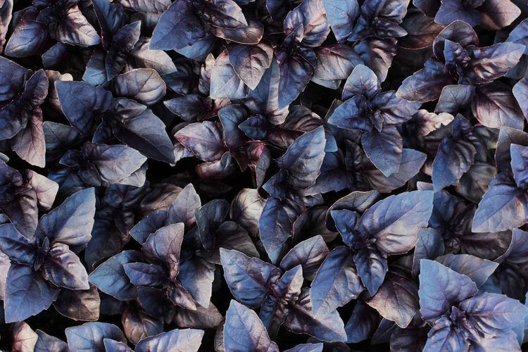 Fresh purple basil leaves background