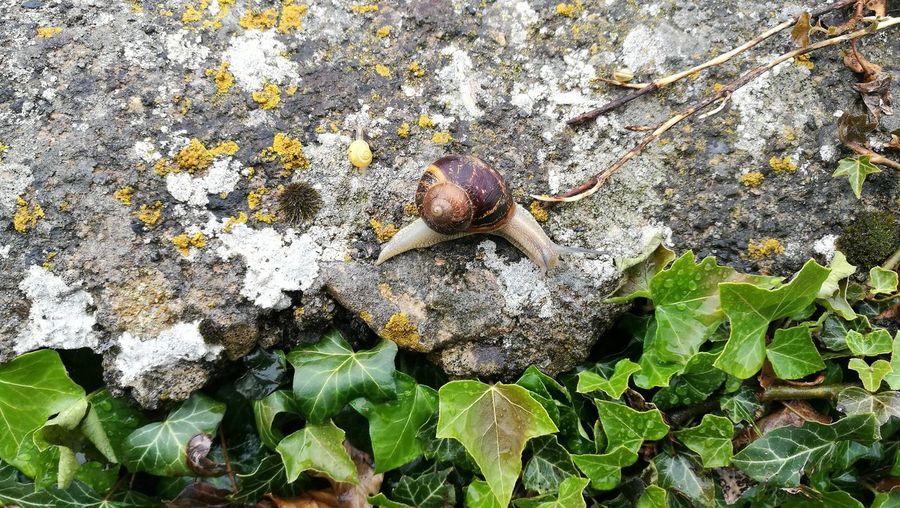 A large snail