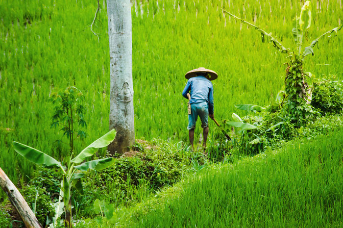 sundanese - WEST JAVA. https://youtu.be/IrS0qDnFhQU Rice Paddy Agriculture Day Farm Farm Worker Farmer Field First Eyeem Photo Full Length Gardening Grass Green Color Growth Hat Landscape Mammal Men Nature One Person Outdoors Plant Real People Rice Field Rice Plant Rural Scene