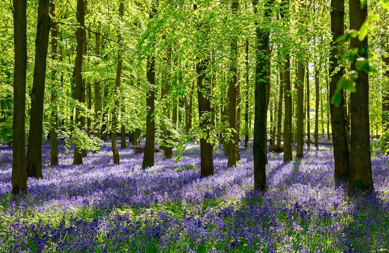 Carpet of bluebells Spring Flowers Springtime Morning In The Woods Bluebell Carpet Bluebells In The Woods Bluebell Woods Uk Flowers, Nature And Beauty Flowers,Plants & Garden EyeEm Selects EyeEm Nature Lover Bluebells Plant Growth Beauty In Nature Tree Flowering Plant Flower Green Color Freshness No People Nature Trunk Tree Trunk Tranquility Outdoors Forest Scenics - Nature Springtime Decadence