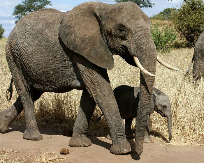African beauties Elephant Animals In The Wild Animal Themes Nature Animal Wildlife African Elephant Togetherness Africa Safari Tanzania Family Mother And Child EyeEmNewHere The Great Outdoors - 2017 EyeEm Awards Neighborhood Map Tarangire National Park Tarangire