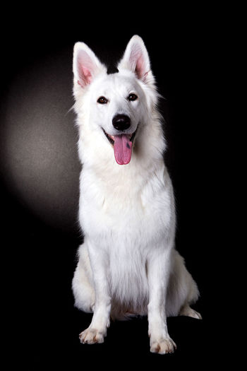 Portrait Of White Shepherd Sticking Out Tongue Against Black Background