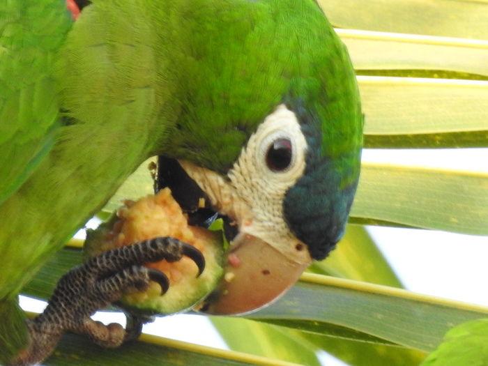 Papagaio Eating