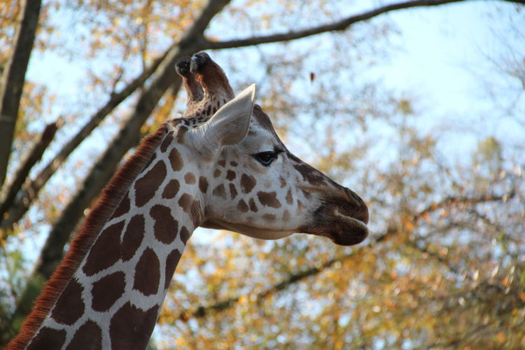 Close-Up Of Giraffe Against Trees